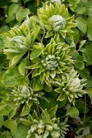 Clematis GREEN PASSION